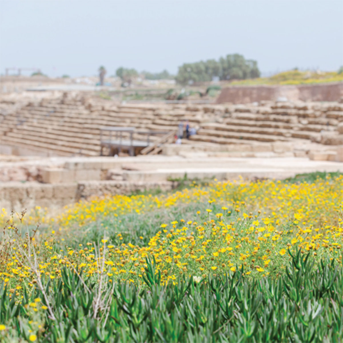 A field of yellow flowers in the Holy Land—Israel